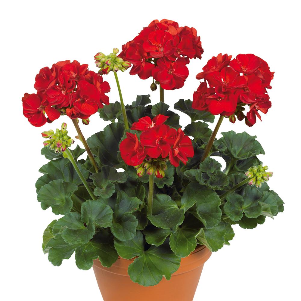 Pelargonium zonale venta