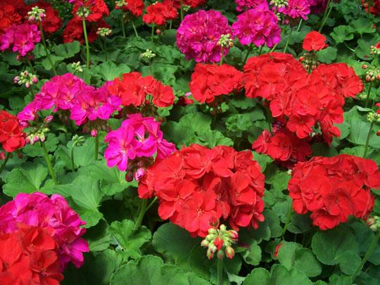 Planta del mes de Febrero: Geranio zonal con un 10% de descuento.