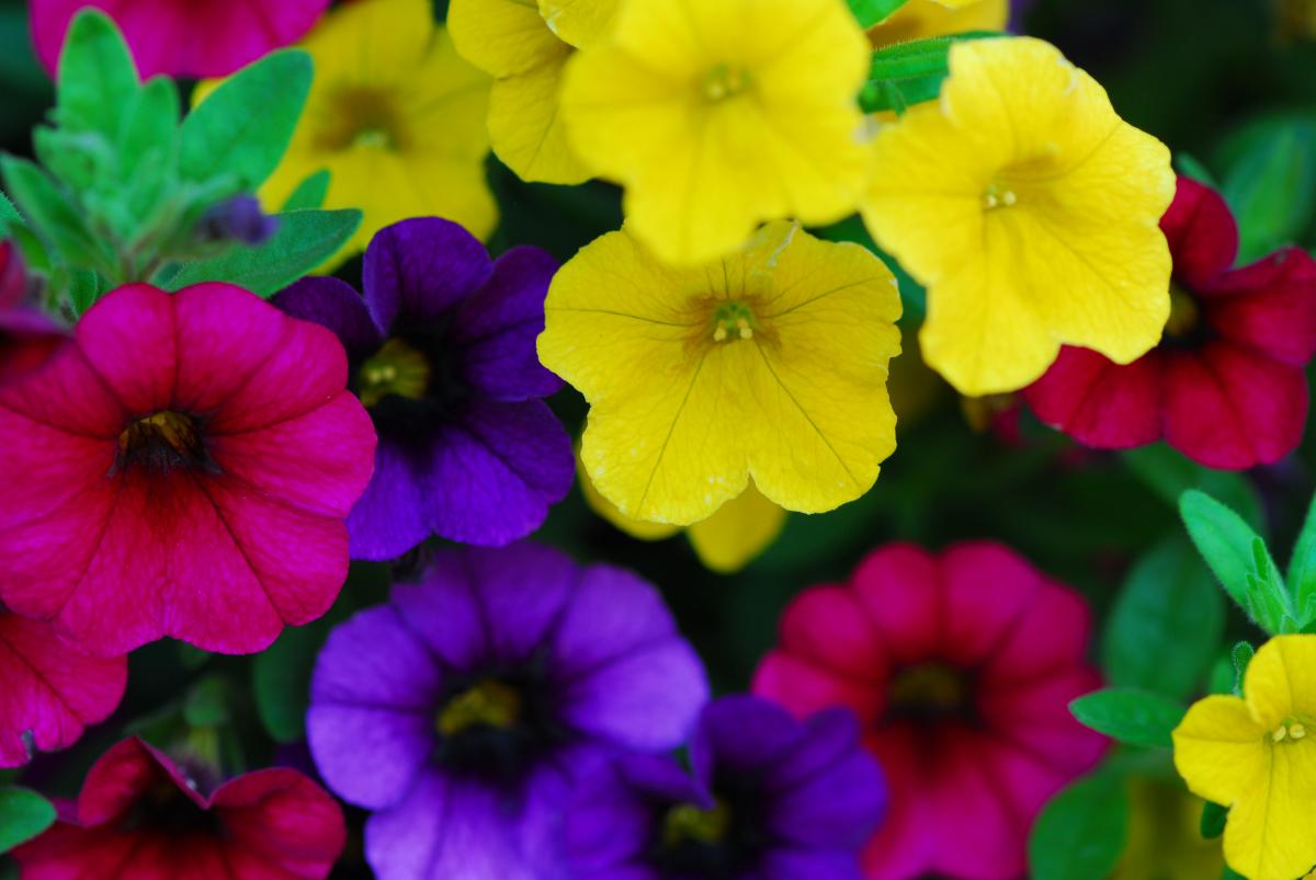 Planta del mes de Abril: Calibrachoa con un 10% de descuento.