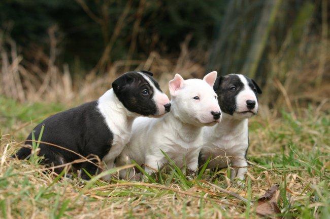 Razas de perros: Bull Terrier.