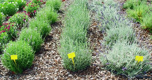 planta del mes de diciembre: toda la planta aromática con un 10