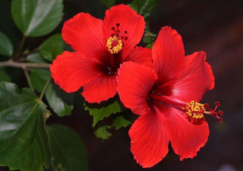 hibiscus rosa-sinensis - detalle flor