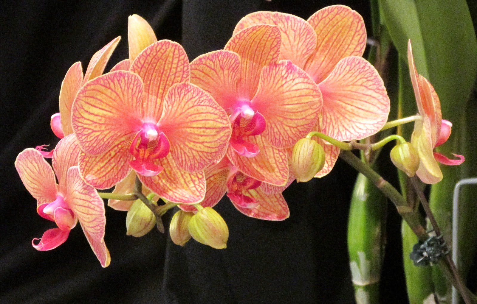 Planta del mes de Enero: Phalaenopsis con un 10% de descuento.