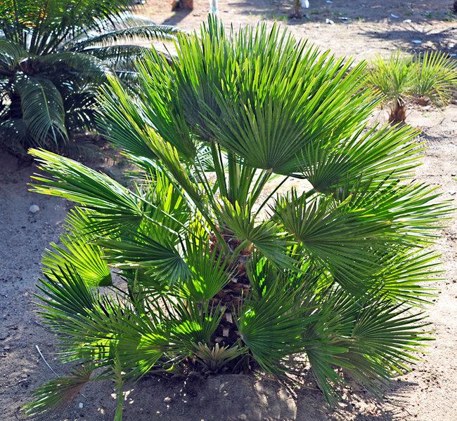 plantas-palmeras-que-protegen-del-viento