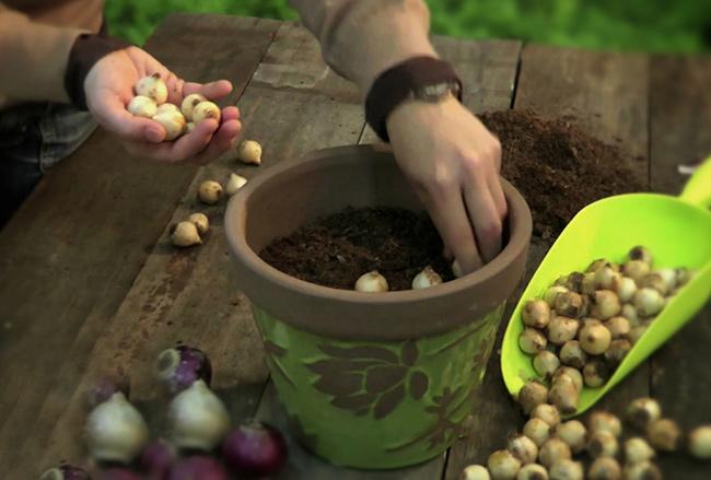 plantar-bulbos-de-primavera-en-octubre