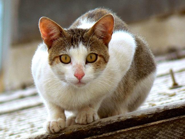 Cómo debemos alimentar a un gato esterilizado