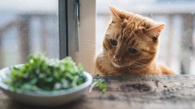 Cómo alimentar a un gato esterilizado.