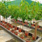 Planta del mes de Agosto: Todos los Árboles Frutales con un 15% de descuento