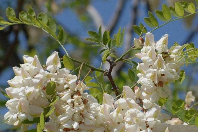 acacia-blanca