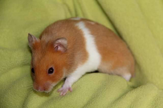 hamster-dorado