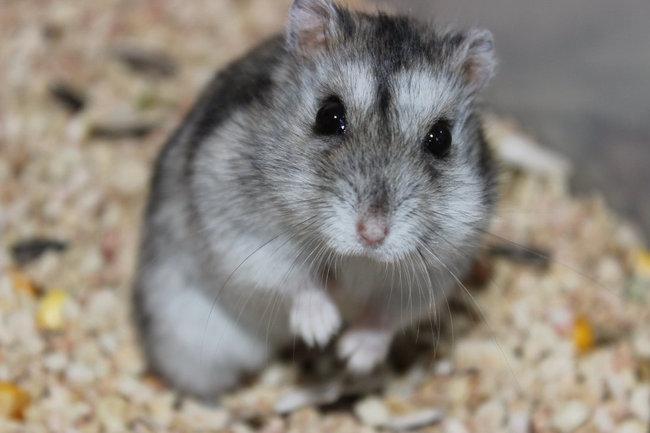 hamster-ruso