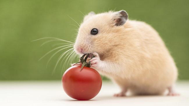 hamsters-comiendo