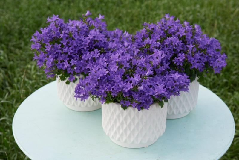 Campanula Flores Azules Abundantes Y Duraderas Garden Catalunya