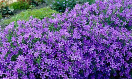 Campanula: Flores azules abundantes y duraderas.