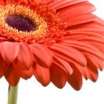 Planta del mes de Abril: Gerbera con un 25% de descuento.