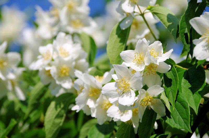 4 plantas para perfumar tu jardín