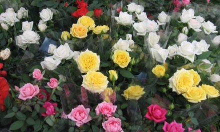 Planta del mes de Mayo: Rosales miniatura con un 25% de descuento.