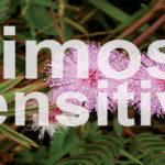 Cuidados y características de la Mimosa sensitiva