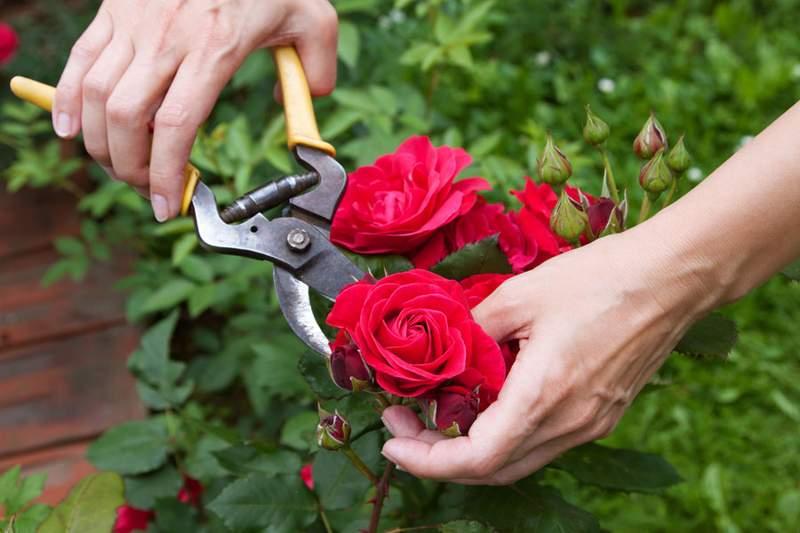 poda de rosales en agosto