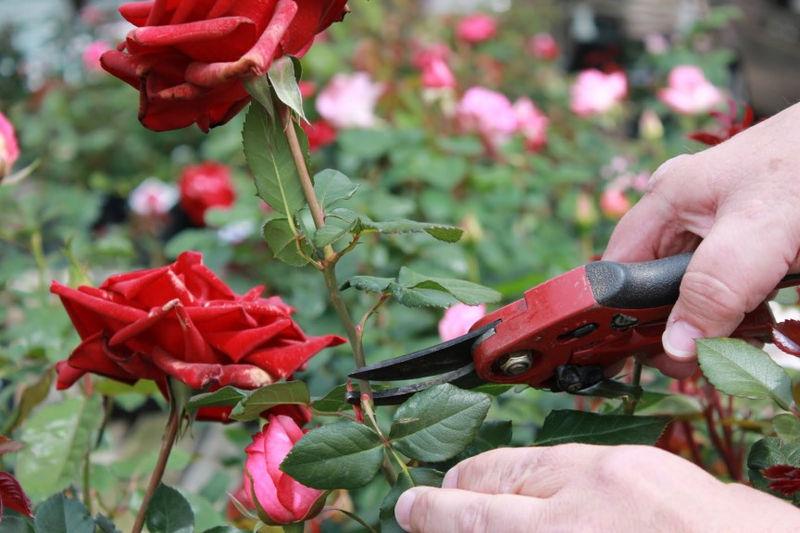 poda de rosales en verano