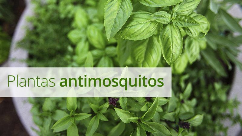 Plantas antimosquitos: cuidados y características