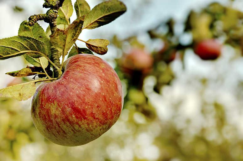 recoleccion-manzanas-septiembre