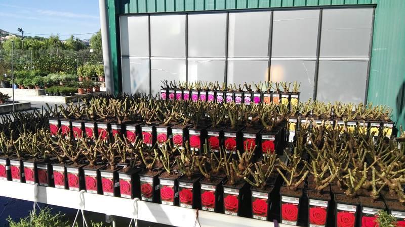Inicio de la temporada de venta de rosales
