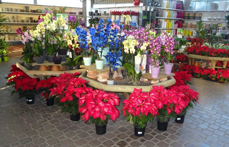 Navidad tiempo de poinsettia garden catalunya plants for Jardineria barcelona centro