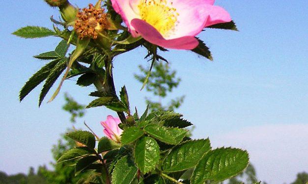 Rosa de mosqueta: Propiedades extraordinarias.