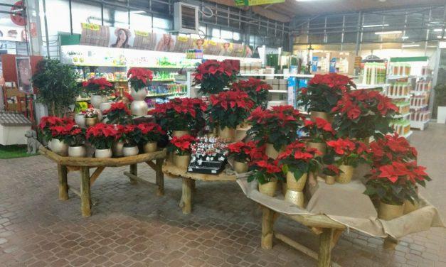 Navidad: Tiempo de Poinsettia