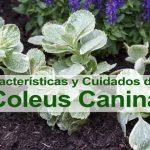 Cuidados y características de la Coleus canina (contiene video)