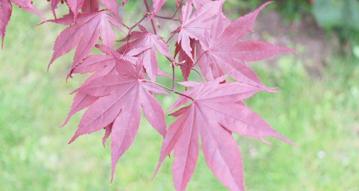 Acer palmatum acer japon s cuidados y caracter sticas - Arce arbol variedades ...