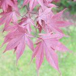 Acer palmatum (Acer japonés): cuidados y características