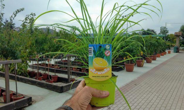 Cymbopogon citratus – La auténtica Citronela