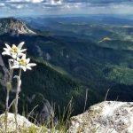 Edelweiss – Flor de Nieve