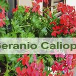Características y cuidados del geranio Caliope