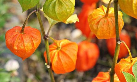 La Linterna China – Physalis alkekengi