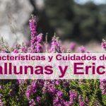 Características y cuidados de las Callunas y Ericas