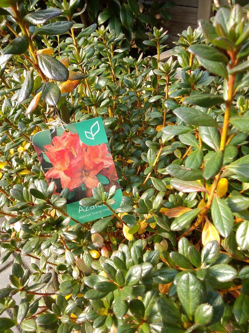 Las azaleas son plantas acidófilas