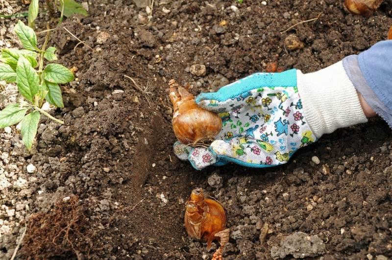Bulbos: plantación y cuidados básicos