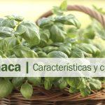 Albahaca: cuidados y propiedades (incluye video)