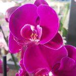 Cómo se cuida una orquídea