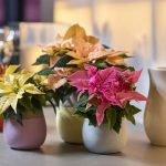 Poinsettias de tonos pastel