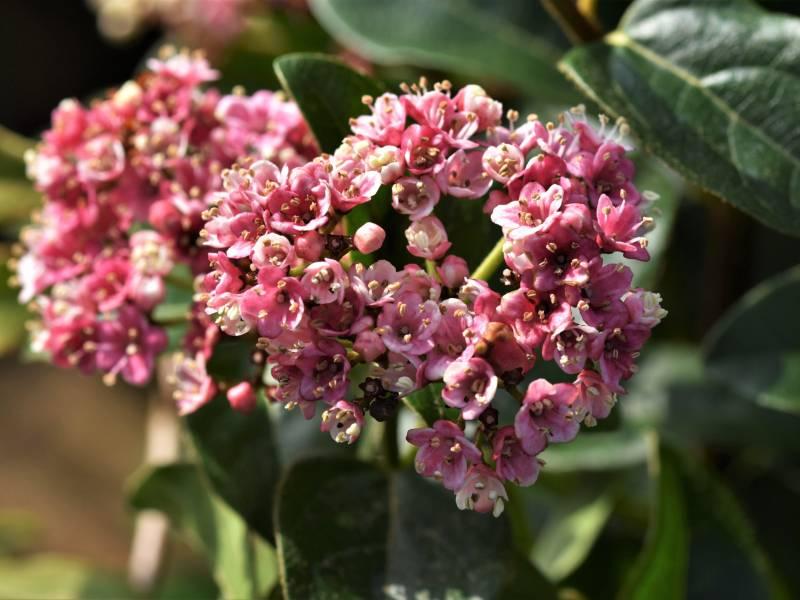 Flores rosadas del Viburnum Tinus (durillo)