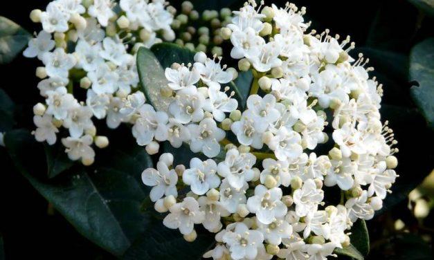 Viburnum tinus: planta de escaso mantenimiento de floración invernal