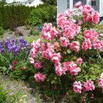 Peonías: características y cuidados