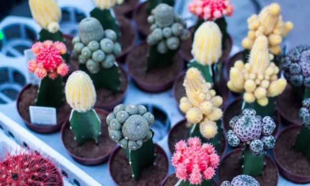 Cactus: cuidados y características
