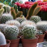 Cómo y cuando transplantar un cactus