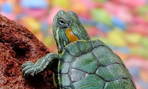 Cuidados y alimentación de las tortugas de agua