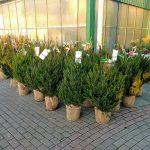 Ya tenemos a la venta los Árboles de Navidad